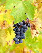 Bunch of Merlot grapes and vine leaves in autumn, Grezillac, Bordelais, France