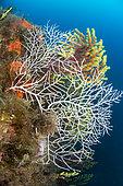 Sea fan (Leptogorgia sarmentosa) white form, off Calella de Palafrugell, Costa Brava, Spain,