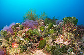 Fan weed (Flabellia petiolata) on a coral reef, off Palamos, Costa Brava, Spain.