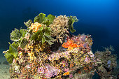 Small red scorpionfish (Scorpaena notata) and Fan weed (Flabellia petiolata) on a coral reef, off Palamos, Costa Brava, Spain.
