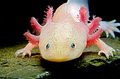 "Axolotl (""water monster"") or Mexican salamander (Ambystoma mexicanum) white or leucistic form, neotenic salamander"