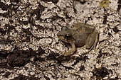 Tsingy frog (Gephyromantis atsingy) on the rock walls of a canyon in the dry season, Tsingy de Bemaraha National Park, Melaky Region, Madagascar