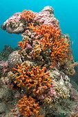 False coral colonies (Myriapora truncata), on a coralligenous massif, off Agde, Protected Marine Area of the Agathoise coast, Hérault, Occitanie, France
