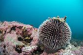 Purple Sea urchin (Sphaerechinus granularis)on the coralligenous of the plateau of the Marine Protected Area on the Agathoise side, Occitanie, Hérault, France.
