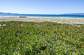 Hottentot fig (Carpobrotus edulis) bed on Propriano beach, Corsica, France. Native to South Africa, it is considered an invasive plant in the Mediterranean area.