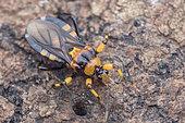 Yellow black Assassin Bug (Reduviidaesp). Yellow black Assassin Bug on dead log, possibly hunting millipedes, Singapore