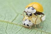 Ladybird (Illeis cf. koebelei)Male yellow bird beetle guarding female pupa from other males, Singapore