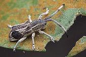 Longicorne (Cerambycidae sp) imitant un charançon, Malaisie