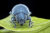 Hairy blue leaf beetle (Trichochrysea hirta). Trichochrysea is a genus of leaf beetles in the subfamily Eumolpinae. It is distributed in Asia.	Malaysia