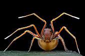 Araignée-crabe myrmécomorphe (Amyciaea sp). Singapour