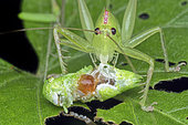 Crickets eating CricketsHexacentrusHexacentrus is the type genus of bush-crickets in the subfamily Hexacentrinae. Most species of this genus occur in Southeast Asia and in Africa.Singapore