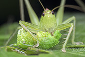 Crickets eating Crickets (Hexacentrus sp). Hexacentrus is the type genus of bush-crickets in the subfamily Hexacentrinae. Most species of this genus occur in Southeast Asia and in Africa. Singapore