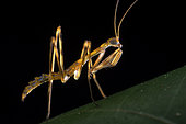 Mantodea, Backlit of a stationary Mantis nymph, waiting for prey to approach, Malaysia