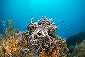 Gorgon's head (Astrospartus mediterraneus) closed, off Calella de Palafrugell, Costa Brava, Spain.