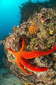 Smooth starfish (Hacelia attenuata) under a coralligenous overhang, off Calella de Palafrugell, Costa Brava, Spain.