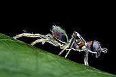 Araignée sauteuse (Orsima ichneumon), Malaisie