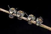 Sleeping sweat bees (Lipotriches (Austronomia) takauensis) males sleep in group, Singapore