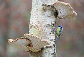 Blue tit (Cyanistes caeruleus) perched on a mushroom, England