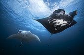 Reef manta ray (Mobula alfredi) black male and white female, Raja Ampat, Indonesia