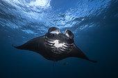 Reef manta ray (Mobula alfredi) black male, Raja Ampat, Indonesia