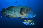 Humphead wrasse (Cheilinus undulatus) and Bluefin trevally (Caranx melampygus), Magic Mountain, Misool, Raja Ampat, Indonésie