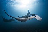 Reef manta ray (Mobula alfredi) female, Raja Ampat, Indonesia