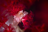 Small porcelain crab (Lissoporcellana sp) in its spiny soft coral (Dendronephthya hemprichi), at night, Raja Ampat, Indonesia