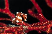 Santa Claus Pygmy Seahorse (Hippocampus denise) on gorgon, Misool