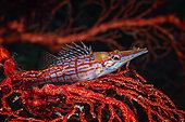 Bécasse à carreaux (Oxycirrhites typus) et son parasite sur sa gorgone rouge, Raja Ampat, Indonésie