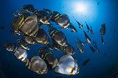 School of Orbicular batfish (Platax orbicularis), Magic Mountains, Raja Ampat, Indonesia