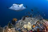 Manta ray (Manta birostris) above the reef, Misool, Raja Ampat, Indonesia