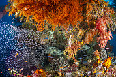 Alcionnaire, underwater environment, Misool, Raja Ampat, New Guinea