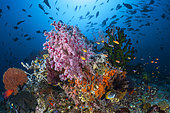 Coral reef, Four Kings, Misool, Raja Ampat, Indonesia