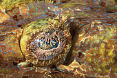 Tentacled flathead (Papilloculiceps longiceps) eye, Raja Ampat, Indonesia