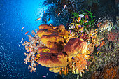 Sponge, coral and fishes in Coral reef, Four Kings, Misool, Raja Ampat, Indonesia