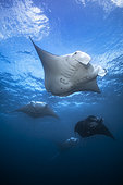 Reef manta ray (Mobula alfredi) flight, Magic Mountain, Raja Ampat, Indonesia