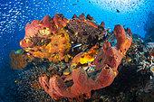 Red sponge on reef, Misool, Raja Ampat, Indonesia