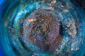 Clown anemonefish (Amphiprion ocellaris) over a sea anemone, Raja Ampat, Indonesia