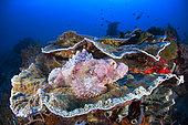 Tassled scorpionfish (Scorpaenopsis oxycephala) on coral, Raja Ampat, Indonesia
