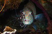 Cleaner Shrimp on a Grouper in reef, Raja Ampat, Indonesia