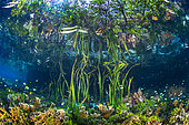 Underwater Garden. Photo symbolizing Raja and its magnificent mangroves which are hotspots of biodiversity. Raja Ampat, Indonesia