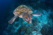 Green turtle (Chelonia mydas) swimming over the reef, Raja Ampat, Indonesia
