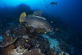 Giant grouper (Epinephelus lanceolatus) with Golden trevally (Gnathanodon speciosus) above reef, Raja Ampat, Indonesia