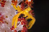 Thin-shelled Spider Crab (Oncinopus aranea), Raja Ampat, Indonesia