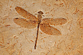 Fossil Dragonfly - Cordulagomphus fenestratus - Lower Cretaceous - Brazil - 125 million years old - Araripe basin