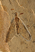 Fossil Lacewing (Planipennia) - Santana Formation - Brazil - Early Cretaceous Period