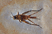 Fossil Cricket - Santana Formation - Brazil - Early Cretaceous Period