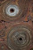 Fossil Stromatolite - Conophytum basalticum - Cambrian - Australia - Katherine - Northern Territory