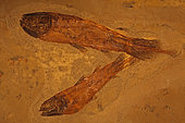 Coelacanths - Cardiosuctor sp. - Carboniferous - Bear Gulch - Montana - USA - 250 million years old