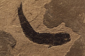 Fossil Lungfish - Osteolepis panderi - Mid Devonian - Caithness - Scotland